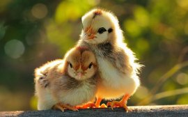 two-cute-chickens