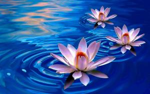 lotus_flowers