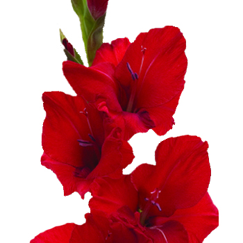 Red-Gladiolus-350_9e39952a